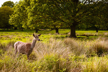 Young baby deer in Richmond nature reserve outdoor Park in London UK. Pictures of wildlife mammal  animals in wild nature forest