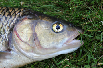 Close-ups on the head of a huge chub caught in a river