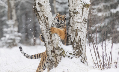Siberian tiger, Panthera tigris altaica, male with snow in fur. Tiger Usurian in a wild winter landscape. Attacking predator in action.