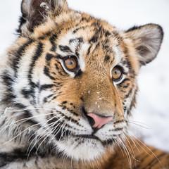 Wall Mural - Closeup of a young Siberian tiger