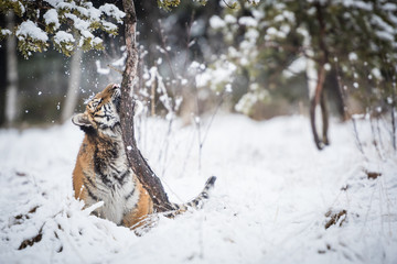 Wall Mural - Young Siberian tiger playing in snow
