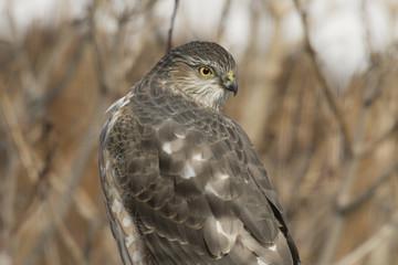 Sharp-shinned hawk hunting birds in backyard