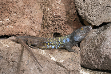 männliche Kanareneidechse (Gallotia galloti eisentrauti) von Teneriffa / Gallot's lizard
