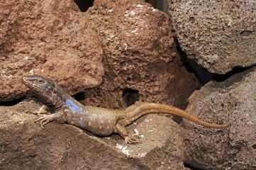 Kanareneidechse (Gallotia galloti galloti) von Teneriffa / Gallot's lizard
