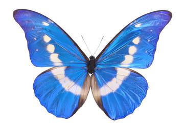 Blue Morpho Helena Butterfly