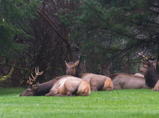 Roosevelt Elk Sleeping