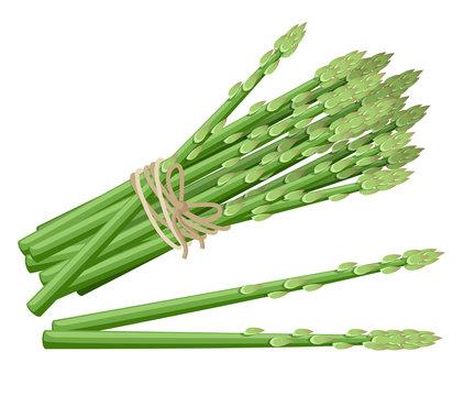 Asparagus vegetable plant. Vector illustration of bunch of asparagus stems. Vector illustration for decorative poster, emblem natural product, farmers market. Website page and mobile app design