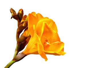 Gelbe Freesie auf weissen Hintergrund Freigestellt