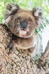 Close up of koala, iconic native Australian marsupial animal on tree