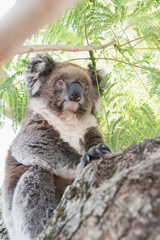 Close up of koala, iconic native Australian marsupial animal on tree