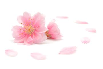 桃 花 春 白背景
