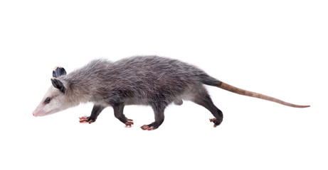 The Virginia opossum (Didelphis virginiana) goes on a white background. Isolated