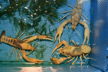 Colorful crayfish ( Procambarus Clarkii Clear ) in a blue plastic tray.