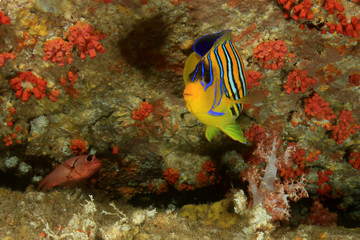 Regal Angelfish fish