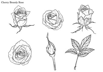 Rose vector set by hand drawing.Beautiful flower on white background.Rose art highly detailed in line art style.Cherry brandy rose for paint book.