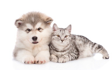 Alaskan malamute puppy  and cat  lying together. isolated on white background