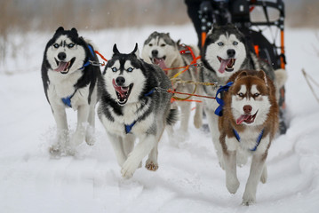 Dog team races during a sled and skijoring competition outside Almaty