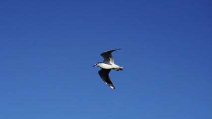 Möwe fliegend vor azurbaluem Himmel