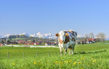 Kuh auf einer Weide in Bayern