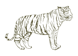 Illustration of tiger drawing style