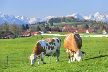 grasende Kühe auf einer Weide mit Alpenblick