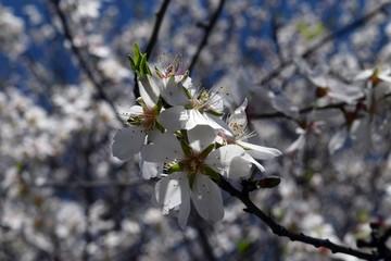 Flowering almond trees. Dutch. Turkey