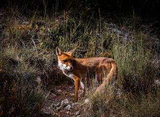 Fox Wild