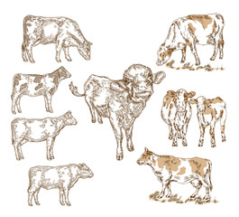 Hand drawn farm animals. Milk cow, cattle, bull, calf isolted on white. Vector illustration engraved