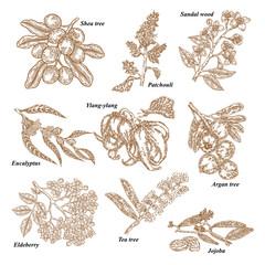 Medical and cosmetics plants. Hand drawn Jojoba, Argan, Tea tree, Sandal wood, Eucalyptus, Patchouli, Ylang-ylang, Shea, Elderberry branch. Vector illustration engraved.