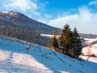 spruce trees on sunny winter day. beautiful countryside in mountains with forested and snowy slopes