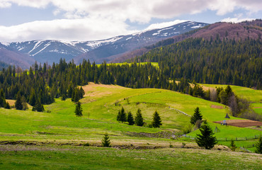 spruce trees on grassy slopes in mountainous area. gorgeous landscape of Carpathian mountains in springtime