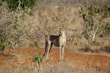 African Safari - Cheetah at Tsavo East Park Kenya