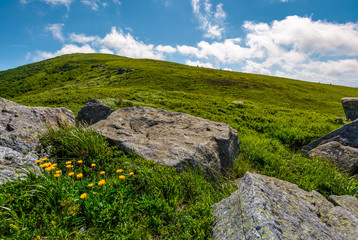 rocks and dandelions on grassy hillside. lovely summer nature scenery in mountain under the blue sky with some clouds