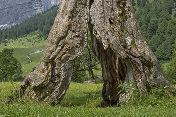 Skurriles Fenster an einem alten Ahornbaum