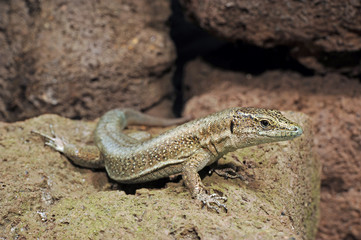 Madeira-Mauereidechse (Teira dugesii) - Madeiran wall lizard