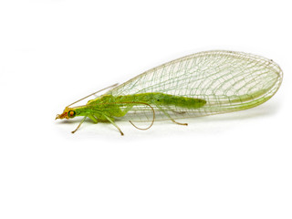 Green lacewing  Chrysopidae isolated on a white background