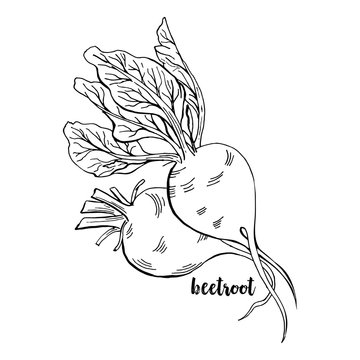 Hand drawn Beetroots. Isolated Beet Roots With Leaves Vegetable for Thanksgiving Harvest Design. Fresh Superfood Vector Illustration.