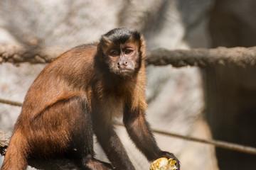 close-up of a capuchin monkey