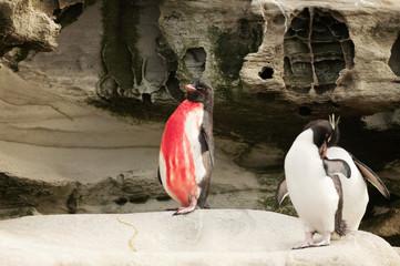 Injured Southern Rockhopper penguin standing on a rock