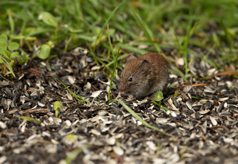 Mouse feeding on a sunflower seeds in the field