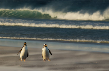 Gentoo penguins walking on a sandy beach during a stormy weather