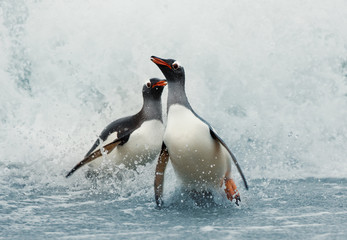 Gentoo penguins coming on shore from a stormy Atlantic ocean