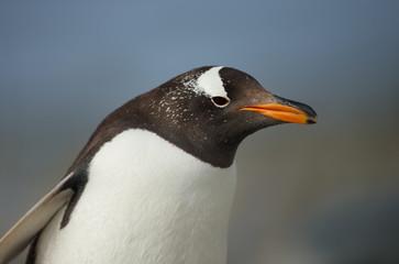 Close up of a Gentoo penguin against blue background