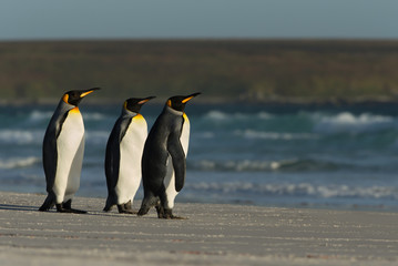 King penguins standing on a sandy coast by the blue ocean