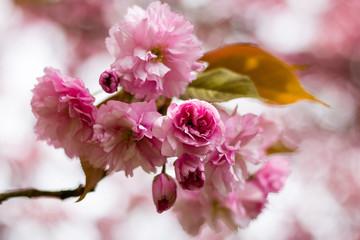 pinke Kirschblüten in Nahaufnahme im Frühling