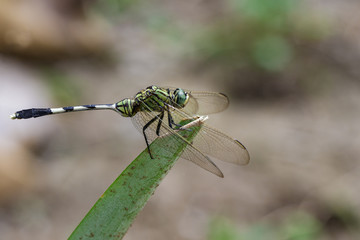 Image of green skimmer dragonfly(Orthetrum sabina) on green leaves. Insect. Animal