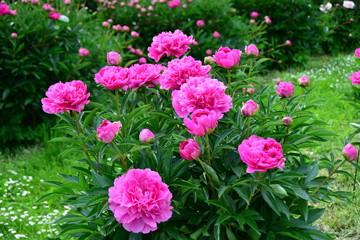 Pink blooming peonies in the garden