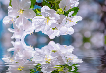 apple tree branch with flowers over the water