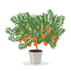 Dwarf orange tree in the flower pot. Fruit tree growing in pot. Growing oranges in a container. Isolated on white. Garden illustration.
