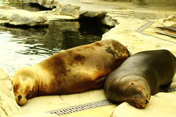 Robben entspannen im Zoo Schönbrunn